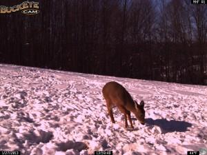 Winter Deer Feeding 1/27/13
