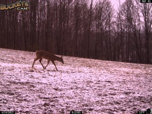 The snow has finally melted and the deer are now separating from the winter herd.