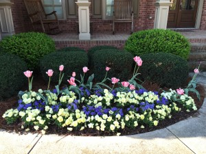 Fall Planted Pansies & Tulips