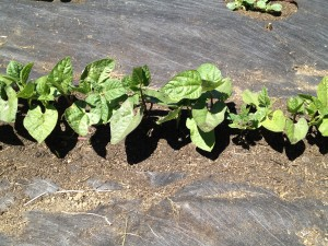 Adding Mulch to Suppress Weed Seedlings!