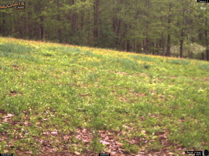 Fall Planted Whitetail Clover Green-up
