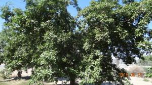 Almond Tree in Mid June
