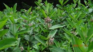Milkweed Plants!