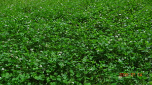Whitetail Institute Whitetail Clover
