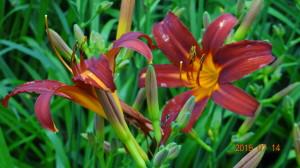 Red & Yellow Daylily