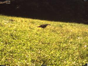 July Turkey in Whitetail Clover!