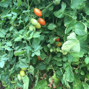 Juliet Tomatoes on the Vine