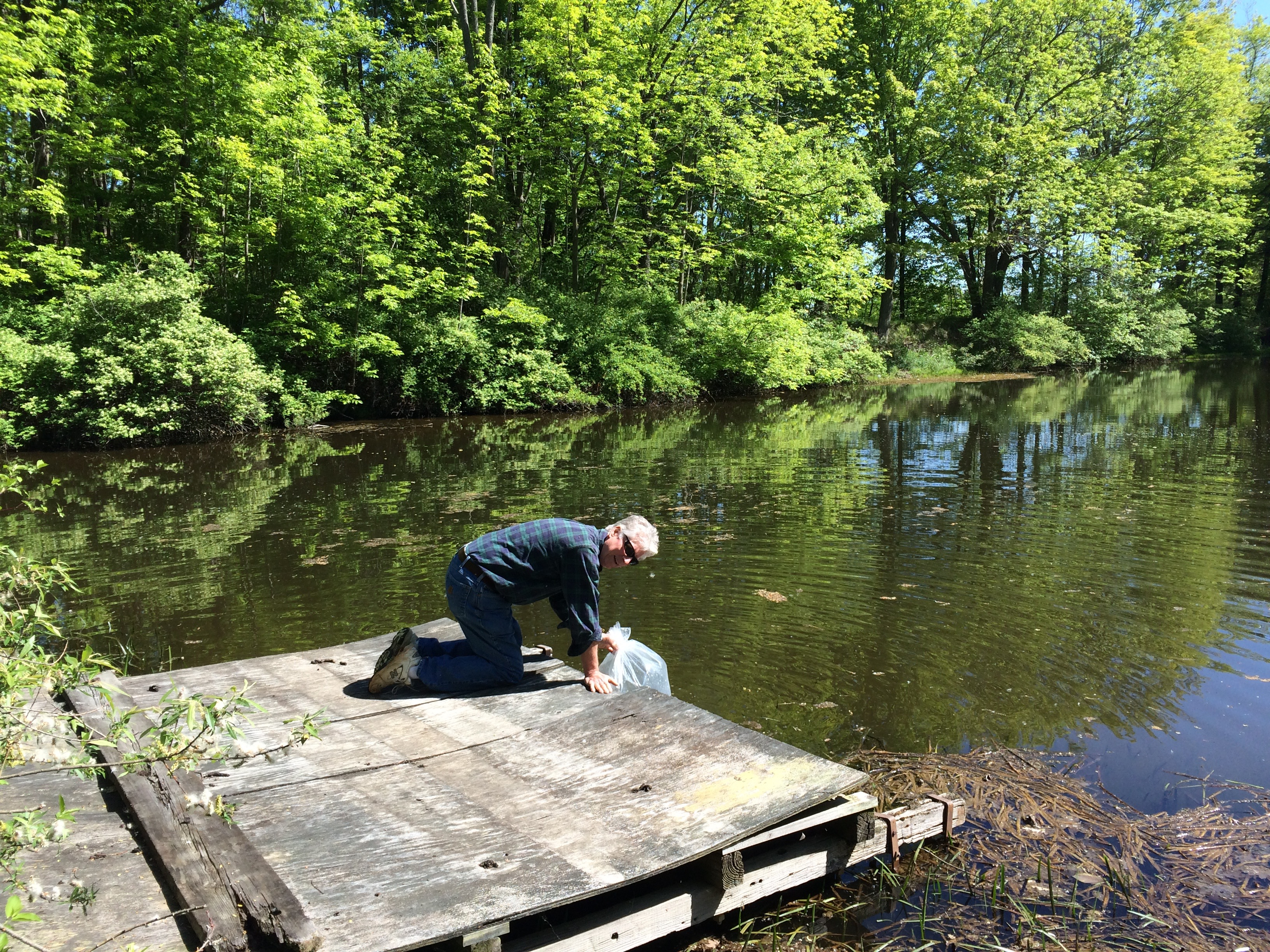 Stocking bluegills and perch in the pond mink hollow farm for Preparing pond water for fish