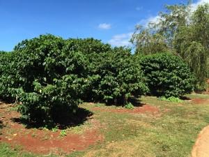 Hawaiian Coffee Trees