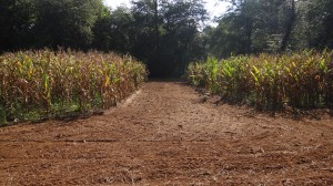 Mature Corn and Preparation for Forb Planting
