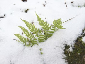Fern Leaf in the Snow