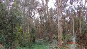 The Eucalyptus Tree Grove