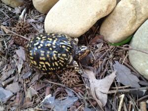 Mature Common Box Turtle (Terrapene Carolina, Linnaeus) (dark phase)