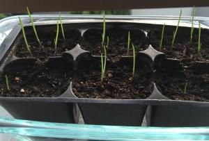 Germinating garlic bulbils