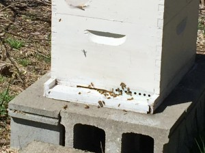 Honeybees entering and exiting through a reduced entrance put in place last Fall