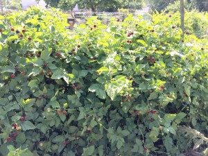 Boysenberries ripening and some ready to pick