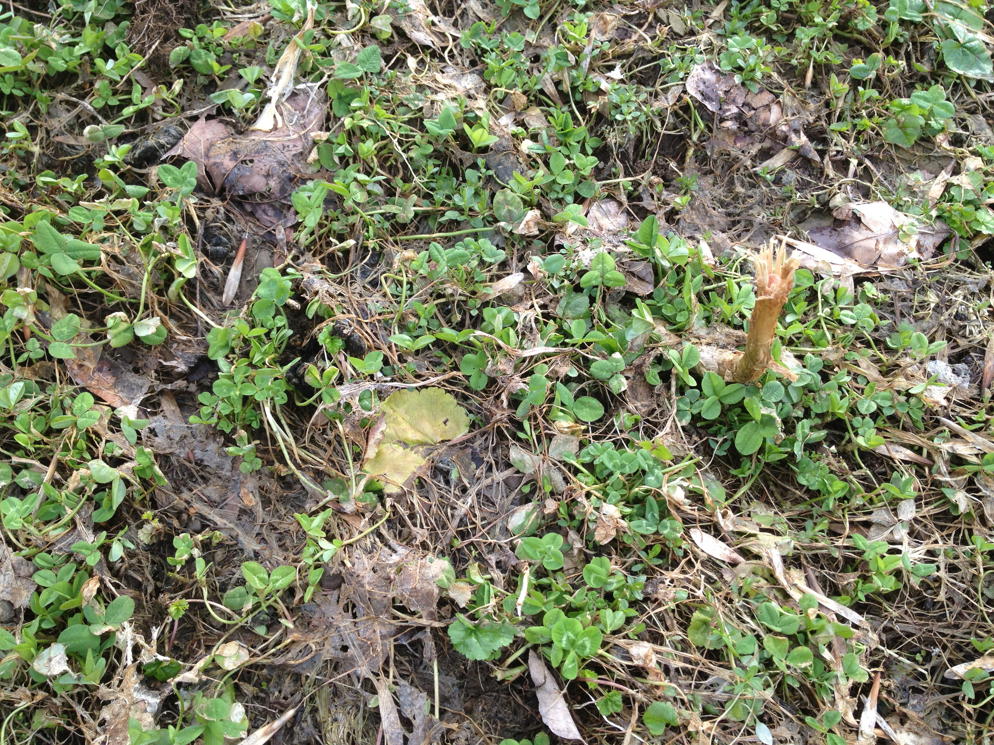 Imperial Whitetail Clover Spring Re-Growth