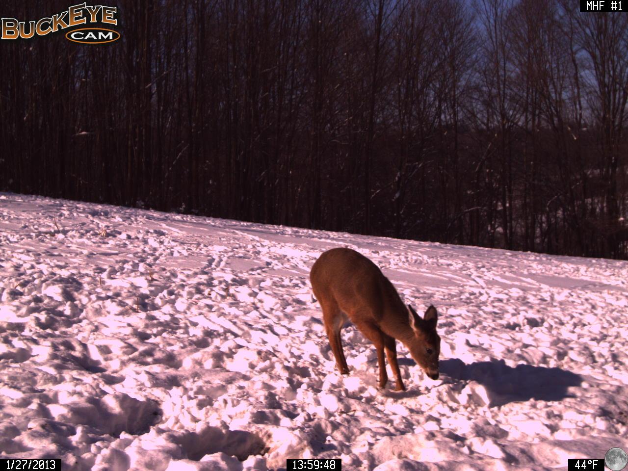Winter Deer Food Plot Activity 1/27/13