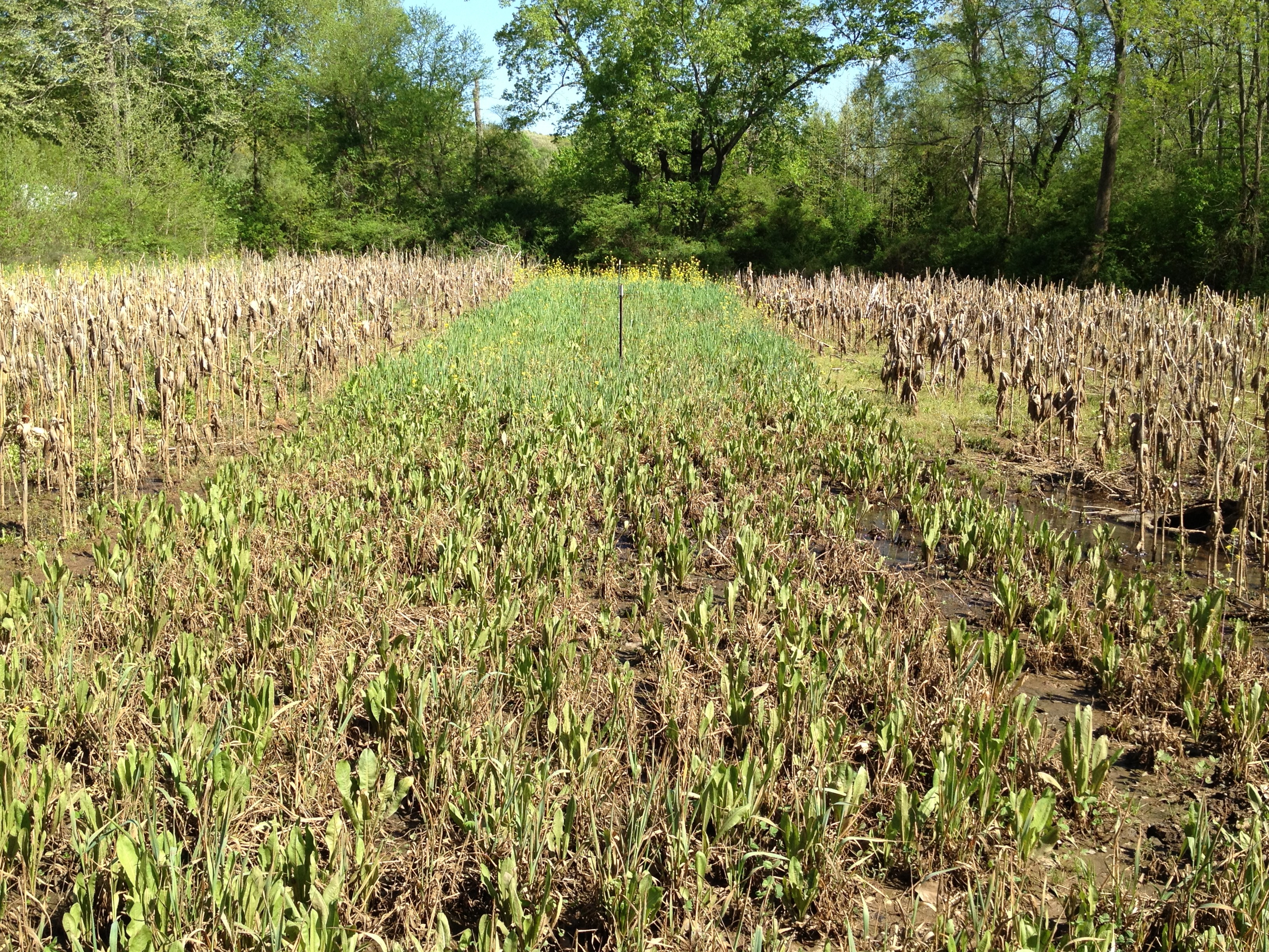 Chicory Thrives After Flooding 4/18/13