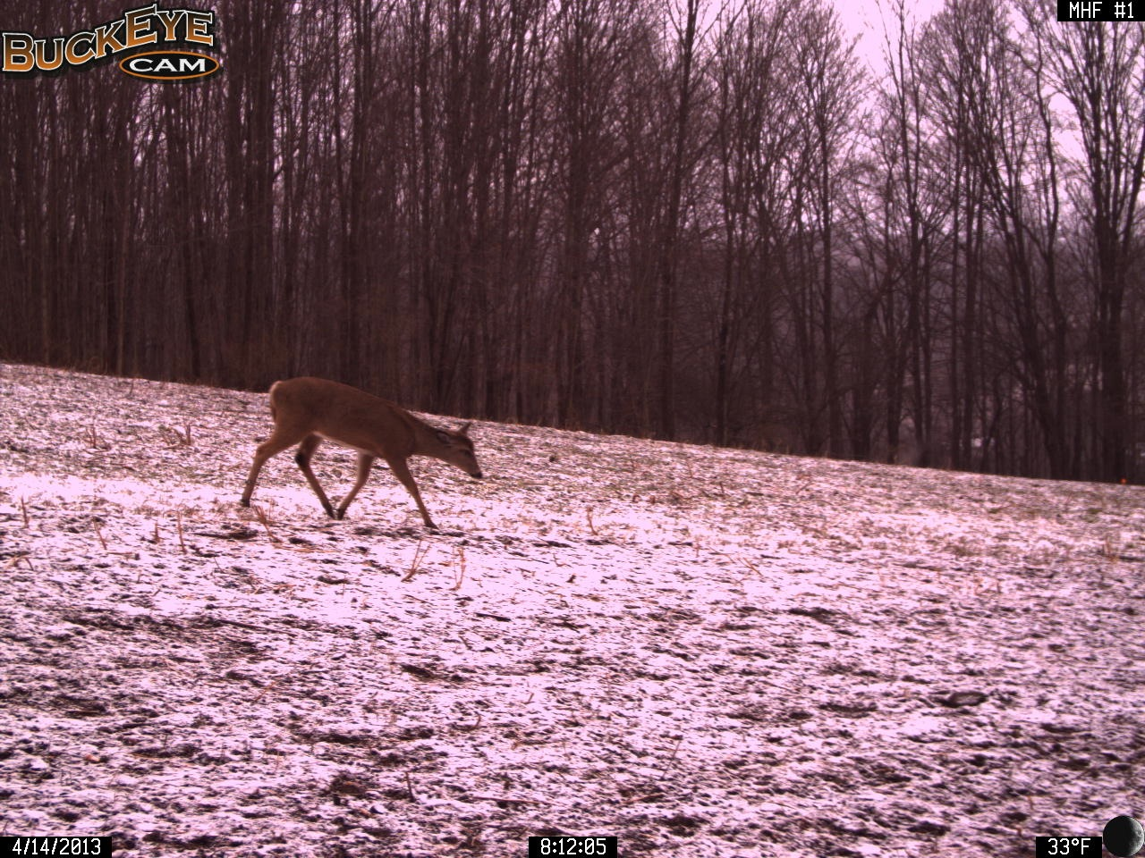 Deer Returning from Herding 4/14/13