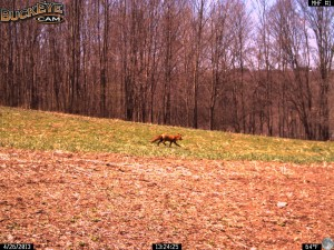 This Red Fox is on the move during the day as Spring weather warms and the clover is starting to regrow in 2013.  In the direction he is headed he is on target to move towards the neighbors chicken coop.  Last year we had a den with  a mother fox and some kits about 100 yards from this spot.  There were a lot of chicken feathers around the outside of the den on the ground.  The fox was also observed hunting mice in the field.  It takes a lot of trips to feed hungry growing kits.