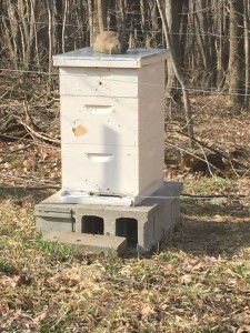 Honey Bee Colonies Survive Overwinter!