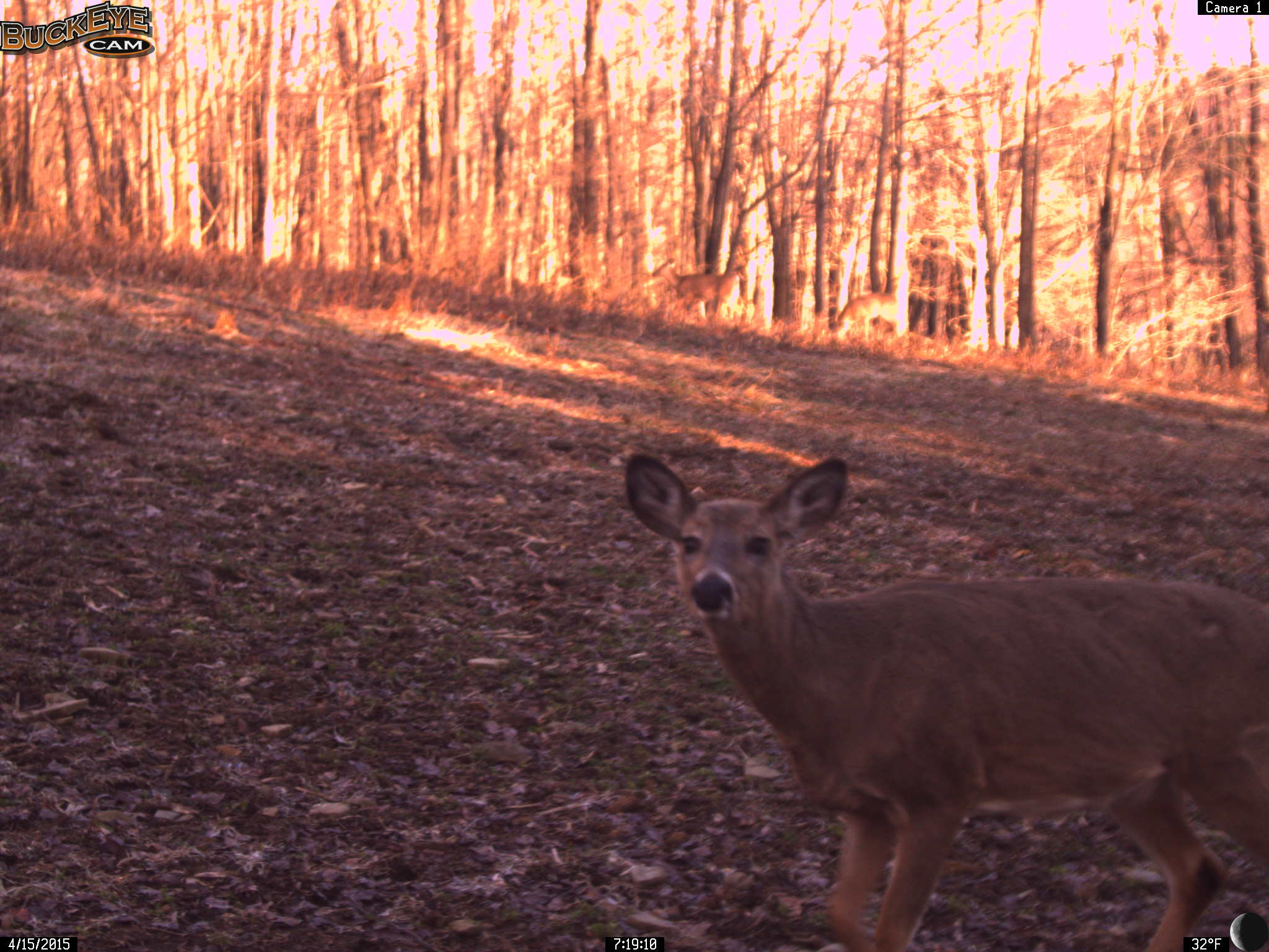 Yearling Whitetail Deer After a Long Winter!