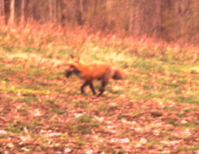 Fox Feeding the Kits!