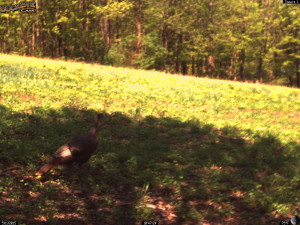 Turkey Visits the New Clover Planting!