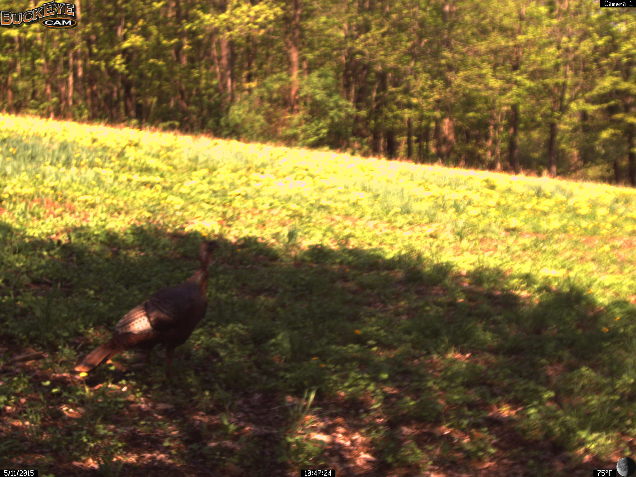 Turkey Visiting the Newly Planted Clover!