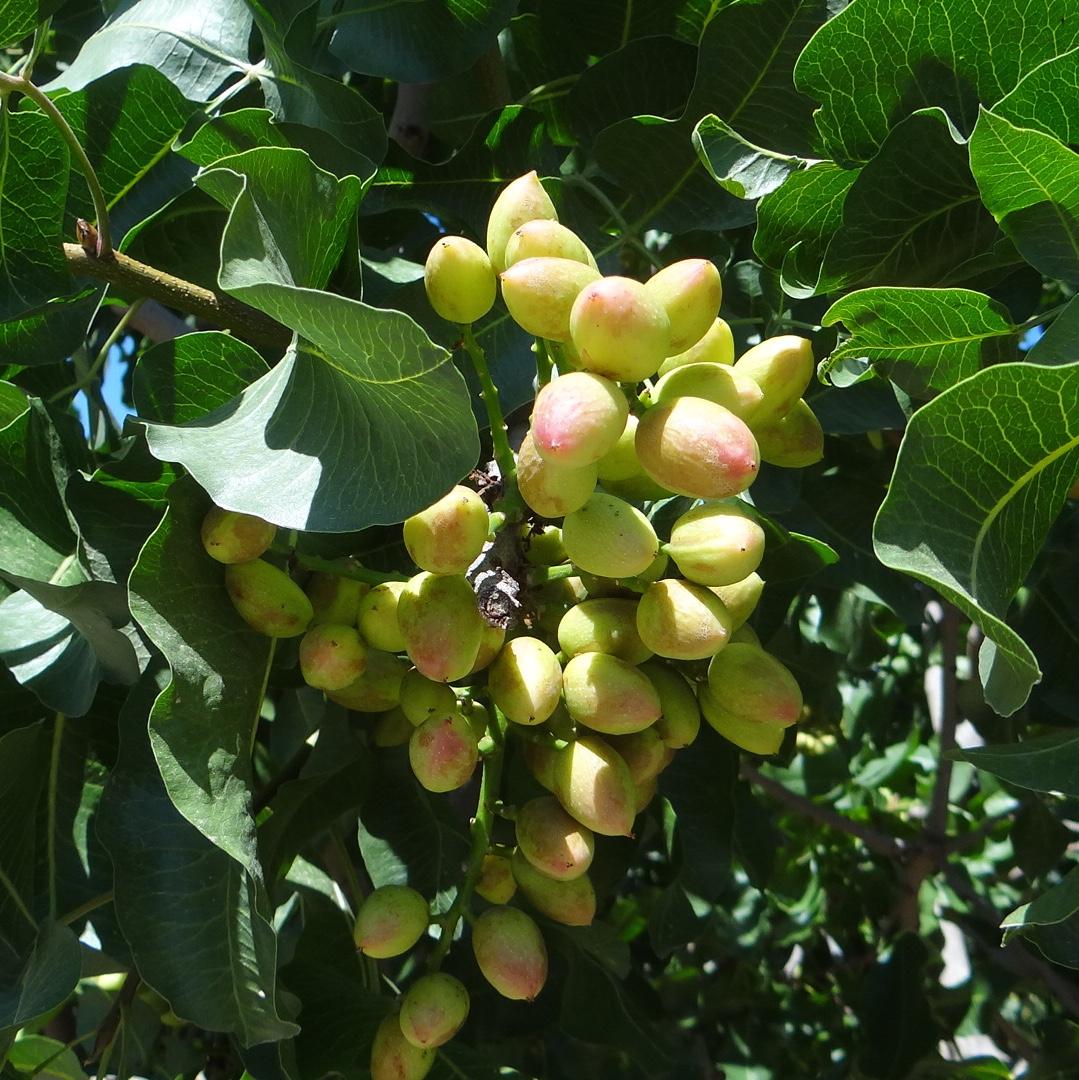 CA Pistachios in June