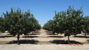 CA Pistachio Trees in June