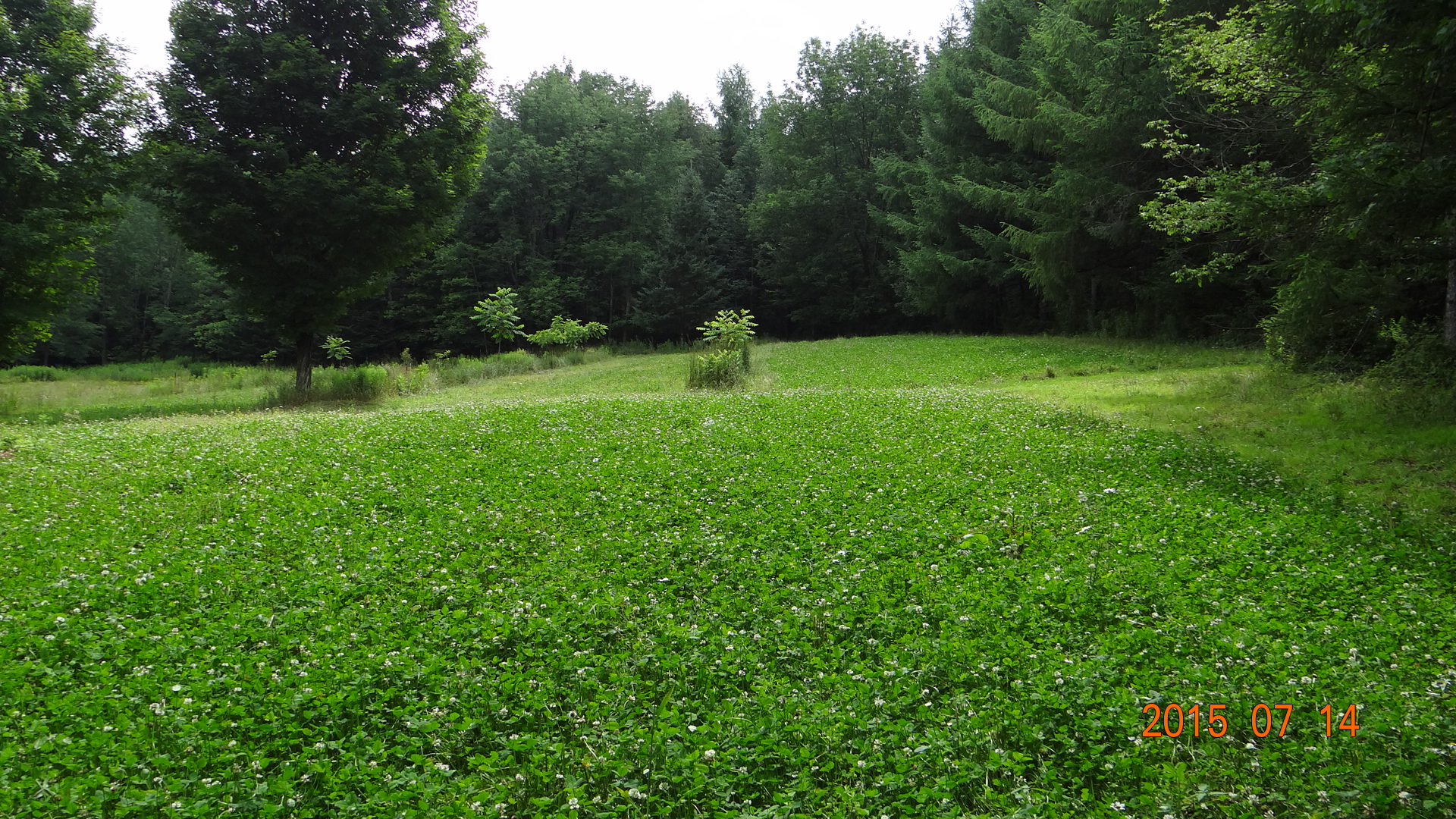 Late Summer 2014 Planted Whitetail Clover