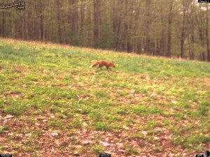 May Fox in Whitetail Clover!