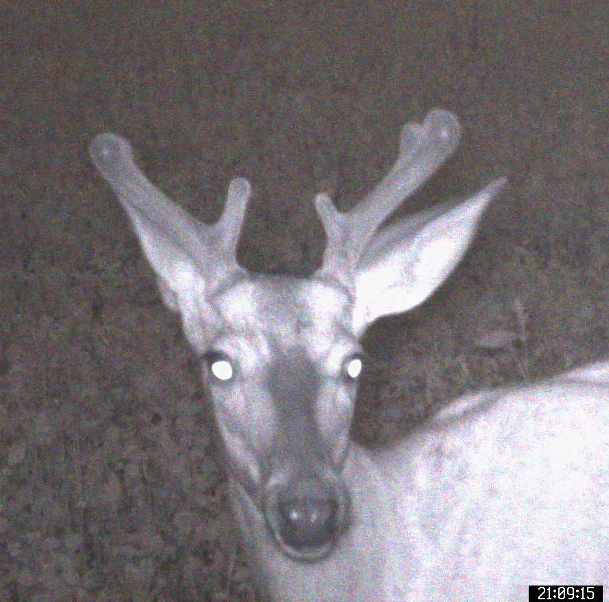 Growing New Antlers - Mid July - front view