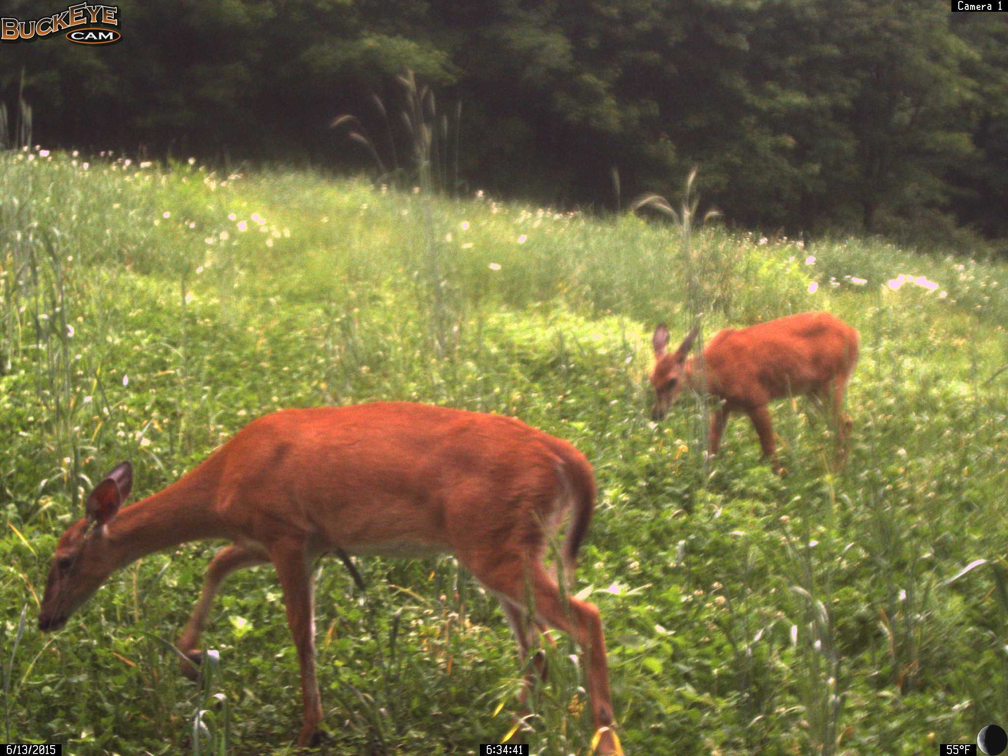 June Whitetail Deer in Whitetail Clover!