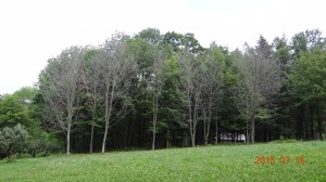 Girdling Trees to Clear Land