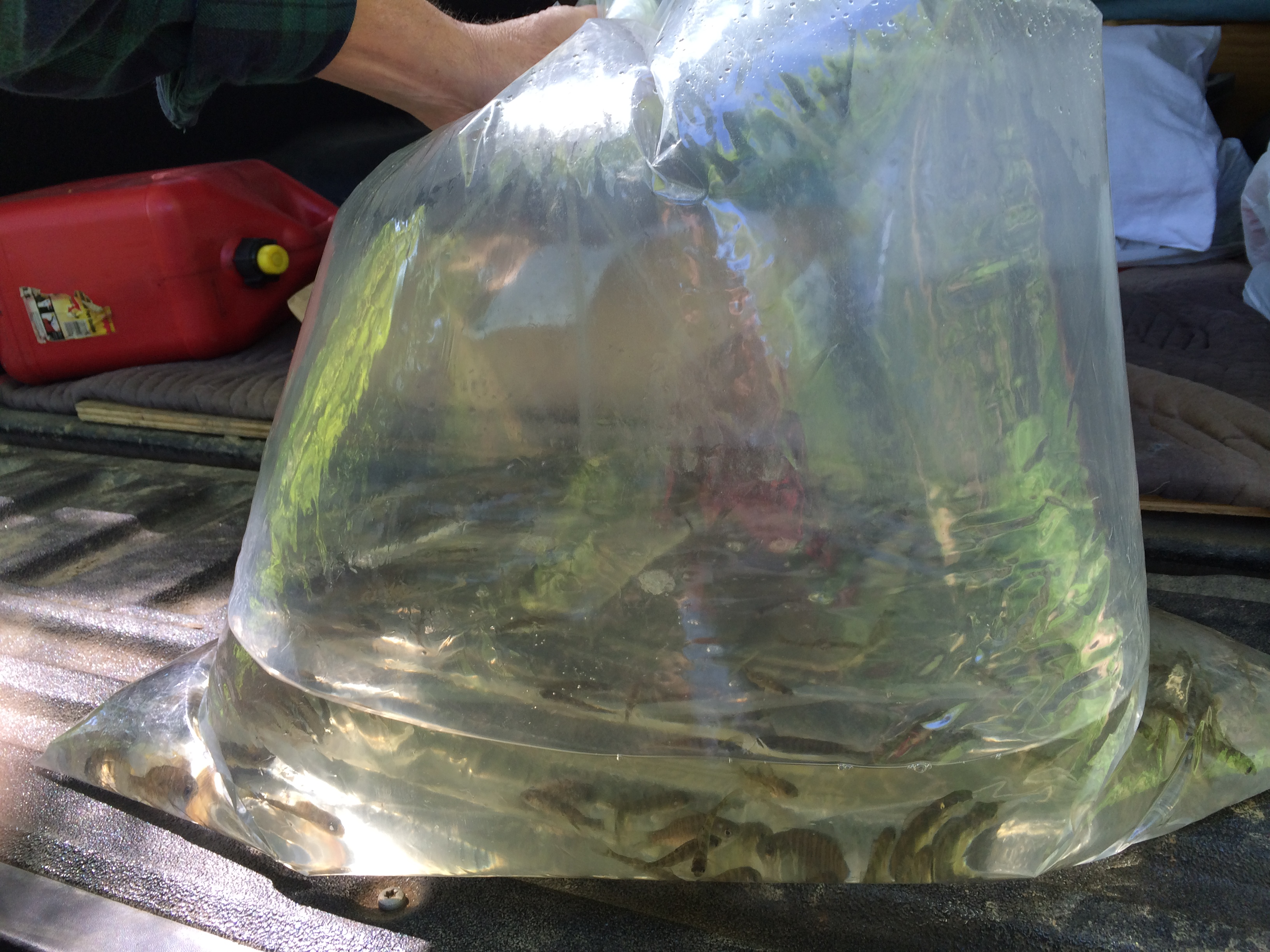 Adding Bluegills and Perch to the Pond