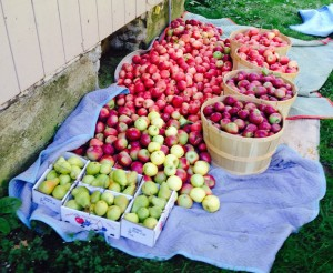 Three Apple Varieties and Pears to Make the Cider Blend