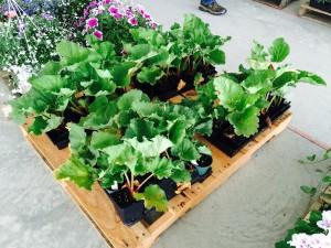 Potted Rhubarb Plants