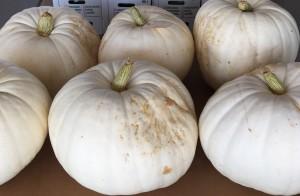 Big White Pumpkins!