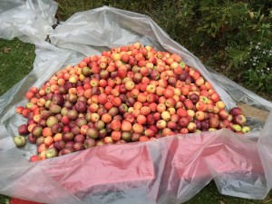 Apples Ready to be Made Into Cider