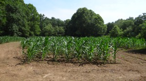 Corn and Soybean Summer Planting