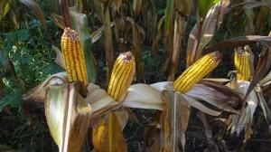 Beautiful Ears of Corn!