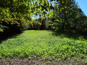 A great location for a turnip & brassica food plot located in a clearing with good sunlight penetration