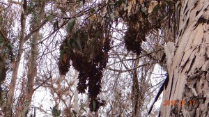 Clusters can be seen hanging along the trail