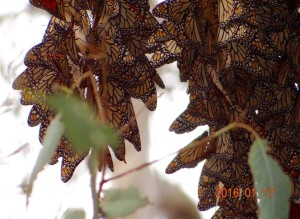Monarch Butterfly Overwintering Cluster in Goleta, California