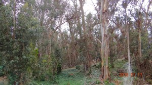The Eucalyptus Tree Grove
