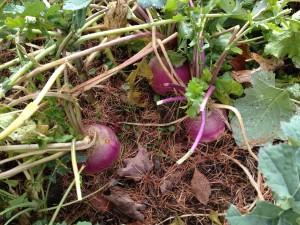 A Feast of Turnips!