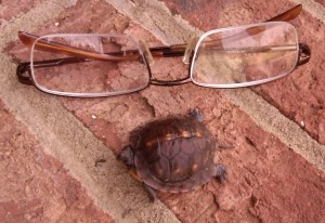 Hatchling box turtle first found in mid October in GA
